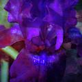 Purple Iris 6152 Dp_2 by Steven Ward