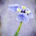 Purple Iris by Amy Jackson