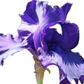 Purple Iris by Angel Bentley