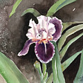 Purple Iris by Arline Wagner