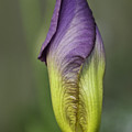 Purple Iris Bud by Herman Robert