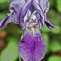 Purple Iris by Ginette Thibault