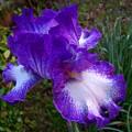 Purple Iris by Jai Johnson