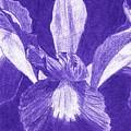 Purple Iris by Jeanne Stumbaugh