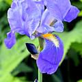 Purple Iris by Jennifer Aiken