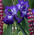Purple Iris by Ken Dietz