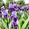 Purple Iris by Laura Mace Rand
