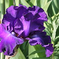 Purple Iris by Mary Gaines