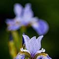 Purple Iris by Michael Cummings