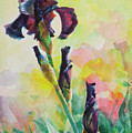 Purple Iris by Steve Henderson