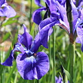 Purple Irises by Carol Groenen