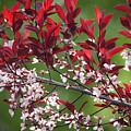 Purple Leaf Plum No. 3 by Todd Blanchard
