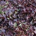 Purple Lettuce   Corsica by Dan Albright