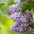 Purple Lilac by Nailia Schwarz