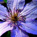 Purple Lilly by Charlene Cox