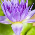 Purple Lotus Blossom by Dana Edmunds - Printscapes