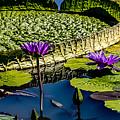 Purple Lotus by Carol Ward