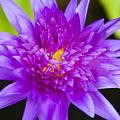 Purple Lotus by Dana Edmunds - Printscapes