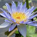 Purple Water Lily Flowers Blooming In Pond by Merrillie Redden