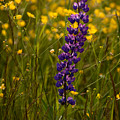 Purple Lupin And Buttercups by Irwin Barrett