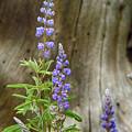 Purple Lupine by Marie Leslie