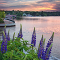 Purple Lupines On The Causeway by Darylann Leonard Photography