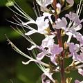 Purple Lycoris by Sarah Barba
