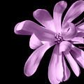 Purple Magnolia by Dianne Pettingell