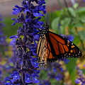 Purple Monarch by Peter Gray