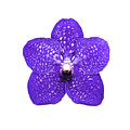 Purple Orchid On White by Scott Mullin