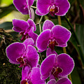 Purple Orchid by Zina Stromberg
