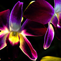 Purple Orchids 2 Backlit by David Frederick