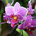 Purple Orchids 2 by Nancy Aurand-Humpf