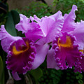 Purple Orchids by Robert Sander
