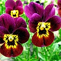 Purple Pansies by J M Farris Photography
