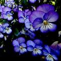 Purple Pansies by Lora Wood