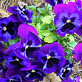 Purple Pansies by Sandi OReilly