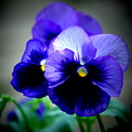 Purple Pansy - 8x10 by B Nelson