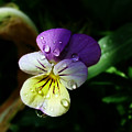 Purple Pansy by Anthony Jones