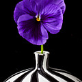Purple Pansy by Garry Gay