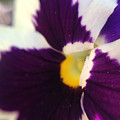 Purple Pansy by Michelle Ngaire
