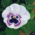 Purple Pansy by Philip Hall