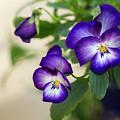 Purple Passion by Ann Skelton