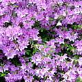Purple Passion by Deborah  Crew-Johnson