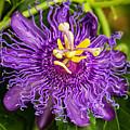 Purple Passion by Sabrina L Ryan