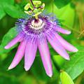 Purple Passion Vine by Genevieve Vallee