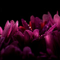 Purple Perennial by Carol Crisafi