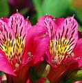 Purple Peruvian Lily by Amy Fose