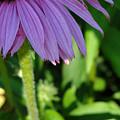 Purple Petals by Mafalda Cento