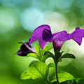 Purple Petunia On A Cool Spring Day by Dorothy Lee
